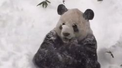 Tian Tian The Panda Doesn't Mind Blizzard Jonas One