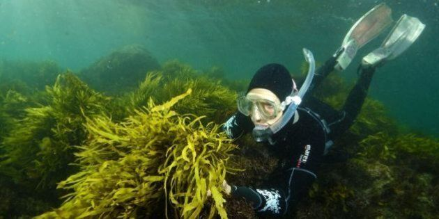 'Operation Crayweed' Aims To Bring Back Sydney's Underwater Forests With