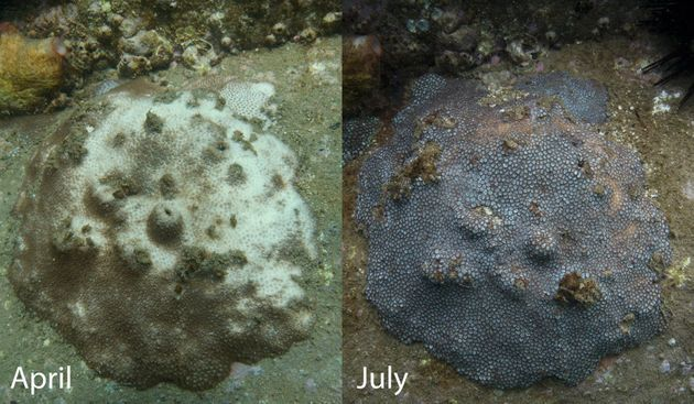 The same Sydney Harbour coral three months