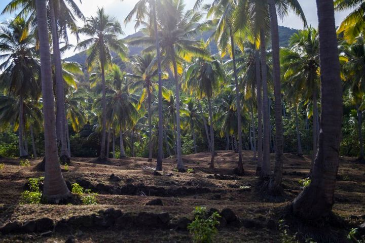 This plantation used to be filled with water taro, though the Chief of Wusi has now taken it over for his copra plantation and grazing cows. Rice is bought with the money made from copra to supplement a diminishing traditional diet.