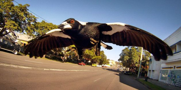 A magpie swoops a brave