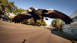 A Magpie Swooping Trick You Haven't Heard Of