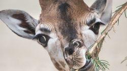 Omo, Rare White Giraffe, Spotted In Tanzania's Tarangire National