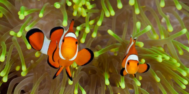 (GERMANY OUT) Clown Anemonefish, Amphiprion percula, Alam Batu, Bali, Indonesia (Photo by Reinhard Dirscherl/ullstein...