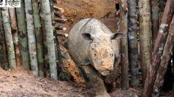 Near-Extinct Sumatran Rhino Dies Mere Weeks After Being Discovered In