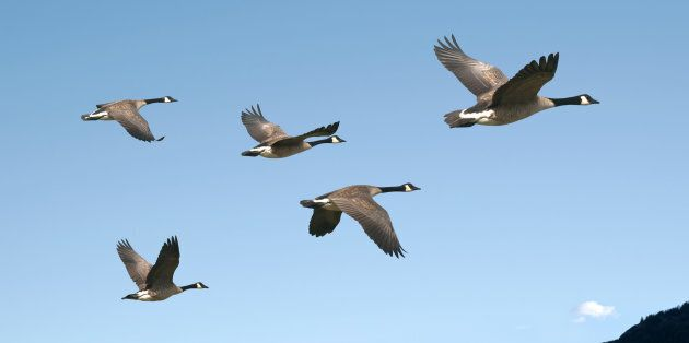A large flock of Canada geese took out both engines of a US Airways flights in 2009, forcing the pilot to crash-land on the Hudson River.