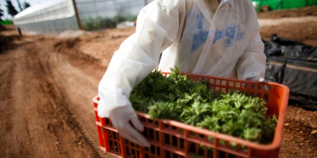 SAFED, ISRAEL - MARCH 07: (ISRAEL OUT) A worker carries medical marijuana at the growing facility of...