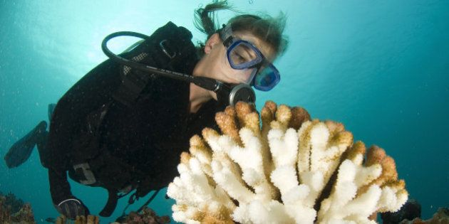 scuba diver scrutinizes a bleached wart coral that is a consequence of global