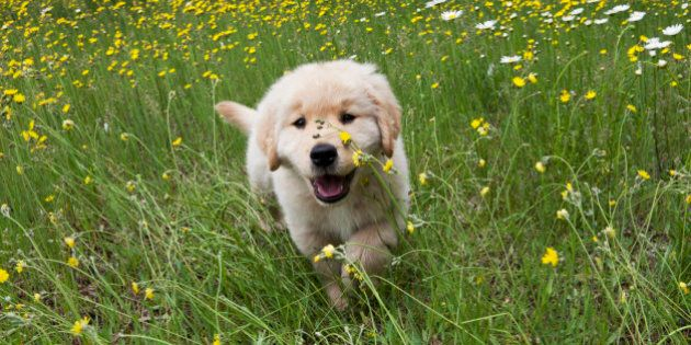 Golden Retriever puppy running in wild