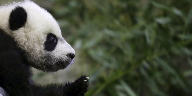Giant Pandas have been moved from endangered to vulnerable after an estimated increase in their