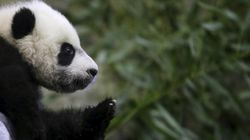 Giant Panda Numbers Are Rising, But It's Not That Black And