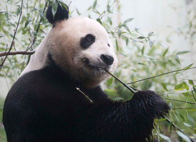 Tian Tian, a giant panda eats bamboo in the outdoor enclosure at Edinburgh Zoo ,Scotland April 12, 2016....