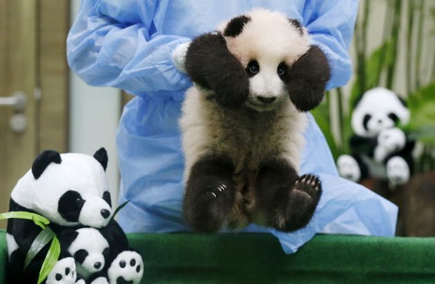 A three-month old female giant panda cub on display to the public for the first time at the national...
