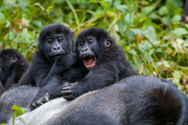 A Familiy of Eastern Lowland Gorillas lingering around the family leader, or 'Silverback', in the Democratic...