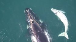 Look At This Beautiful Baby White Whale Off The Coast Of