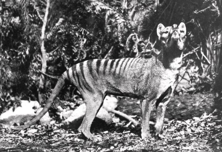 T%asmanian Tigers were declared extinct in 1936.