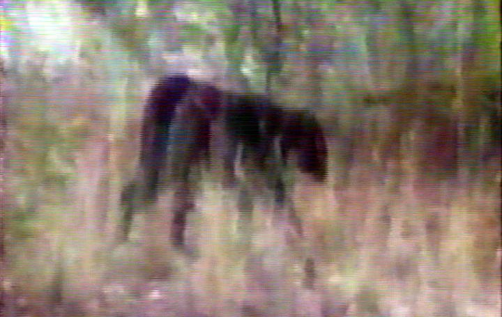 Perhaps the clearest image of the 'panther' taken form a video clip.