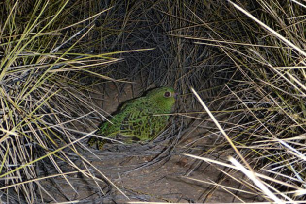 The night parrot is being protected in a secret