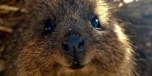 WWF-Australia says just 39 of the 500 quokkas in Northcliffe, WA, can be found following the devastating bushfire that ripped through nearly 100,000 hectares of quokka habitat in 2015.