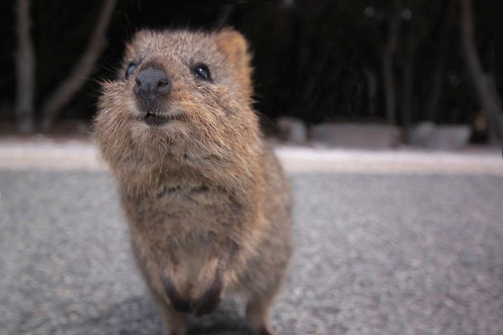 In 2015, an intense bushfire ripped through nearly 100,000 hectares of quokka habitat near Northcliffe.  Prior to the fire, this bushland was home to more than 500 quokkas, WWF says.