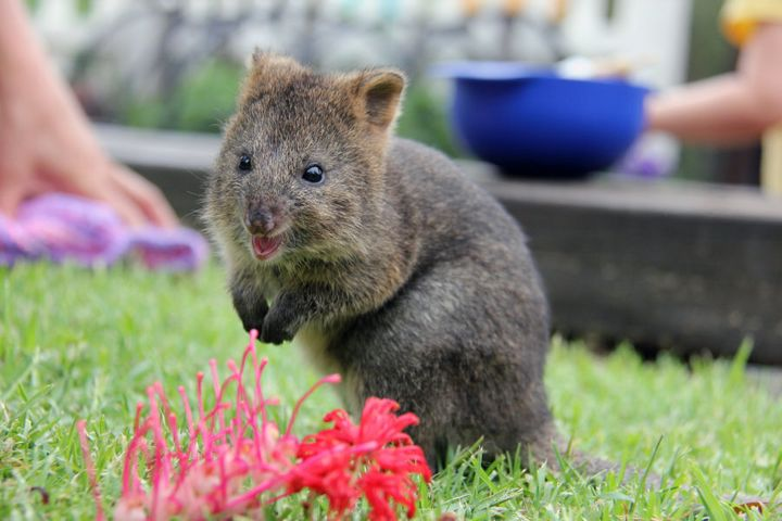 The WWF said before the fire there were 43 sites known to be home to quokkas, but now only 10 of these are still able to support the animals.