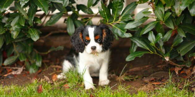 Cavalier King Charles Spaniel puppy eating grass under a