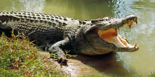 Saltwater crocodile (Crocodylus porosus) worlds largest living reptile, cooling himself with open mouth,...