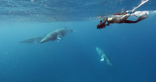 Virtual Reality Brings Dwarf Minke Whales To A Global