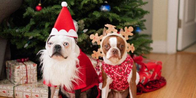 Two boston terriers in Christmas costumes in front of the Christmas