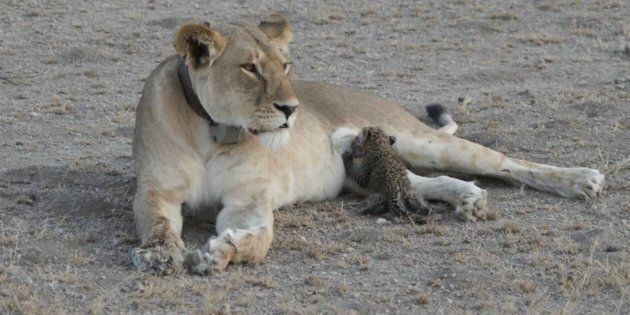 A lioness nurses a young leopard cub in what experts say is a never-before-seen occurrence between different cat species.