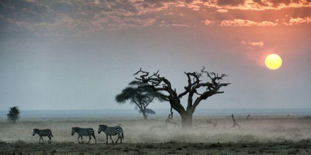 Burchell's zebras walking across dusty plain at sunset, Amboseli National Park,