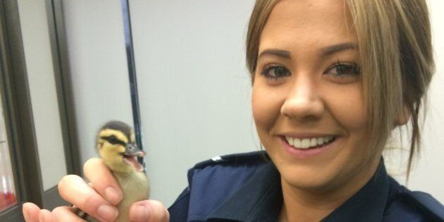 Stand Aside Police Dogs: Ducks, Horses and Chihuahuas Are The Order Of