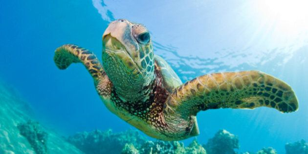University Of Queensland Study Shows One In Three Turtles Have Eaten Marine