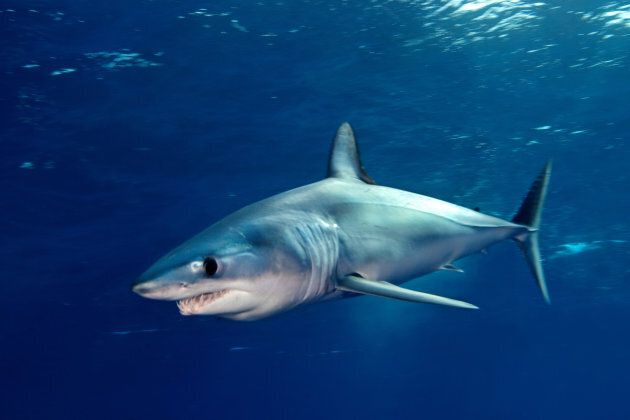 It's believed that the shark was a mako -- pictured above.