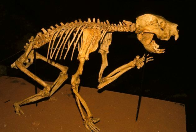 A skeleton of one of Australia's ancient megafauna, found inside a cave in South