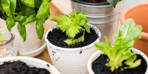 Celery and lettuce can easily be re-grown from