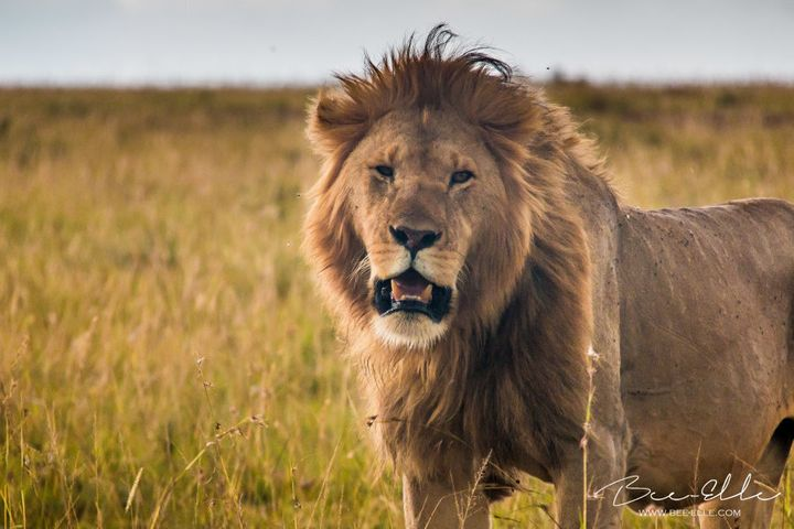 There are fewer than 20,000 lions left in the African wild.