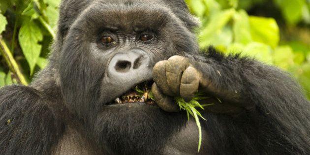 Mountain Gorilla silverback male eating (Gorilla gorilla beringei), Kwitonda Group, Volcanoes National...