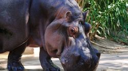 'World's Oldest' Female Hippo Dies Aged 49 In
