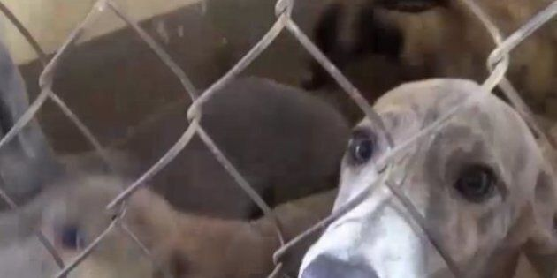 Qantas Will No Longer Fly Racing Greyhounds To