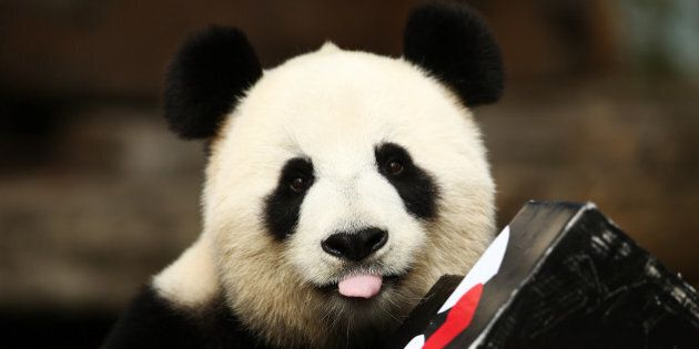 ADELAIDE, AUSTRALIA - AUGUST 23: Fu Ni the giant panda is treated to specially prepared panda treats...