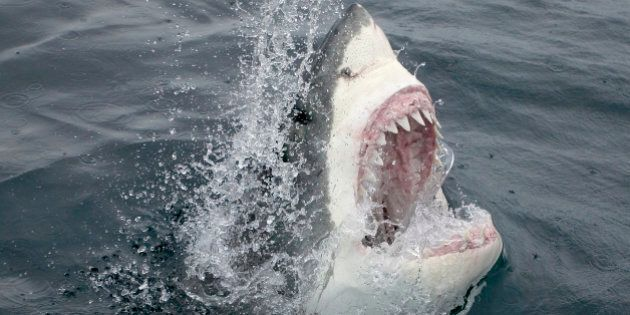 Great White Shark Emerging From the