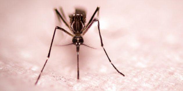 black culex mosquito on