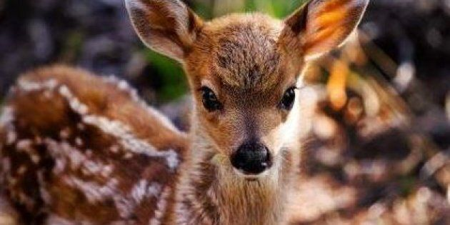 The rescuers of this three-legged fawn had to battle the state of Ohio to keep him from being killed.