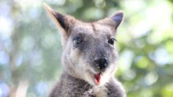 This Wallaby Fell Pregnant Without A Male In