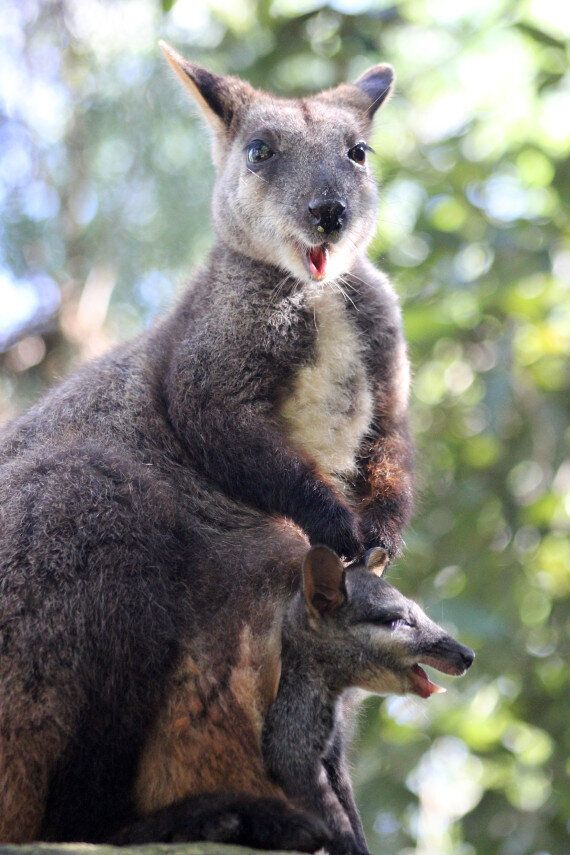 Miracle Baby: Brush-Tailed Rock-Wallaby Birthed Without A Male Around At Taronga Zoo At But Science Can...