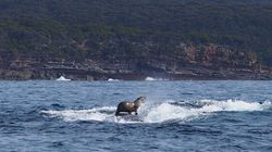 Obviously This Is A Seal Riding A Humpback