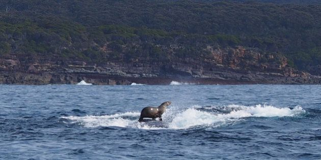 Seal Rides A Humpback Whale On NSW South