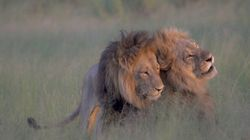 Photographer Captures Two Male Lions 'Mating' In
