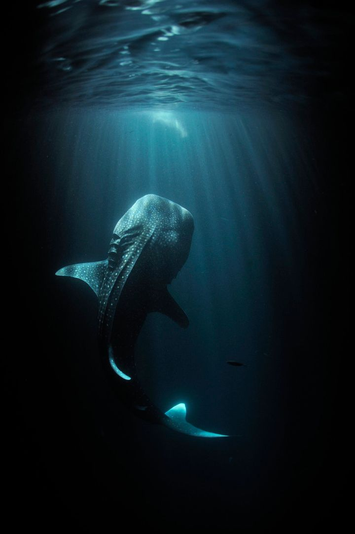 Fishermen's lights attract plankton which in turn attract a young whale shark.